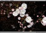 次の記事:浜離宮恩賜庭園の桜