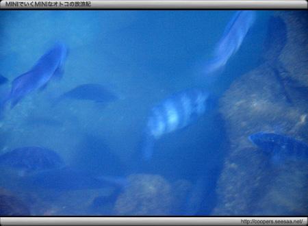 明神池で泳ぐイシダイとメジナ