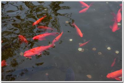 長谷寺の池の金魚