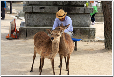 宮島の鹿001