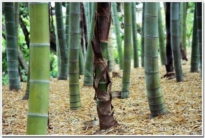 後楽園の竹林