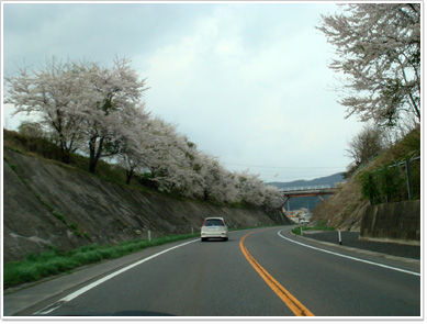国道4号の桜(ゴールデンウィーク)