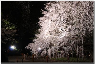六義園のしだれ桜
