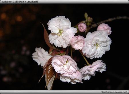 浜離宮恩賜庭園の八重桜