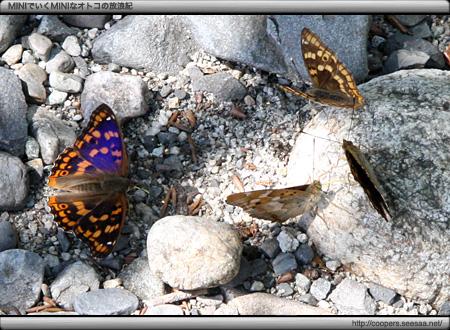 上高地の蝶々「コムラサキ」