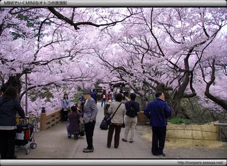 桜満開の桜雲橋