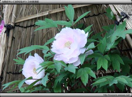 徳川園〜ぼたんの花